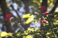 DSC09058 (Old Lenses New Camera) Tags: sony a7r kodak medalist ektar heliar 100mm f35 plants garden flowers rose roses
