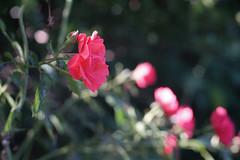 DSC09056 (Old Lenses New Camera) Tags: sony a7r kodak medalist ektar heliar 100mm f35 plants garden flowers rose roses
