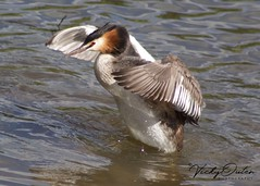 Great crested grebe (Explored 20/07/18) (vickyouten) Tags: vickyouten carrmilldam sthelens grebe greatcrestedgrebe