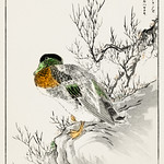 Mallard and Willow illustration from Pictorial Monograph of Birds (1885) by Numata Kashu (1838-1901). Digitally enhanced from our own original edition. thumbnail