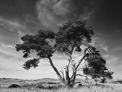 Pine (Thunderbird61) Tags: pine tree landscape hogeveluwe netherland niederlande monochrome mono schwarzweis zwartwit blackwhite neroblanco negroblanco noirblanc paysage bw sw zw nb bnw pentax pentaxart nature mediumformat