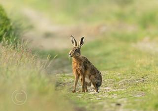 Wildlife around Magdalen June 2018 030 - Wet hare one foggy morning