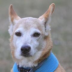 Bagel! (wurzel.pete.3.5 Million views,Ta!) Tags: 16718 bagal hearingdog help 10 pet cancer old loyal gentle mate cool working dog uk surrey walk hearing corgi jack