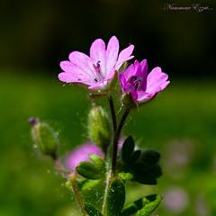 DSC00131 (Ezzo33) Tags: france gironde nouvelleaquitaine bordeaux ezzo33 nammour ezzat sony rx10m3 parc jardin fleur fleurs flower flowers