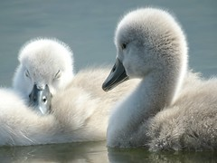 Fluffy Duo! ('cosmicgirl1960' NEW CANON CAMERA) Tags: nature water gogledd cymru north wales llanfairfechan gwynedd snowdonia eryri yabbadabbadoo