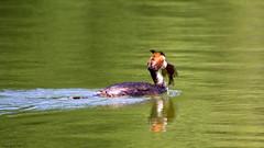 Pêche en eau douce (Phil du Valois) Tags: huppée étang saint pierre forêt domaniale compiègne poisson fish grêbe