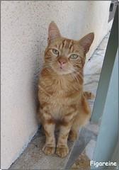En reconduisant Isa dans sa famille d'accueil nous avons rencontré Doudou (Figareine- Michelle) Tags: chat coth5 alittlebeauty coth bestofcats catmoments vg~catsgallery kittyschoice
