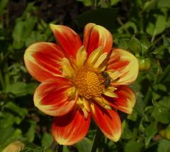 Flower and Bee, Botanical Gardens, Göteborg  Sweden P1000536 (Mike07922, 3.6 Million+ Views - thanks guys) Tags: botanicalgardens goteborg gothenburg sweden nature colour flower