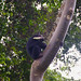 Chimpanzee and a corn in a tree