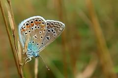 Polyommatus (ZdenHer) Tags: polyommatus butterfly macro canonpowershotg7xmarkii