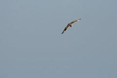 Short Eared Owl hunting (ejwwest) Tags: portsmorth hampshire shortearedowl birdofprey asioflammeus farlington bird solent portsmouth england unitedkingdom gb