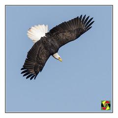 Bald Eagle - Conowingo Dam (Crested Aperture Photography) Tags: baldeagle birdsofprey usa conowingodam conowingo susquehanna susquehannariver shureslanding orinthology raptor haliaeetusleucocephalus