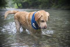 IMG_5270 (BernaPhotography) Tags: labradorretriever lab labrador dog pet yellow river nature serbia