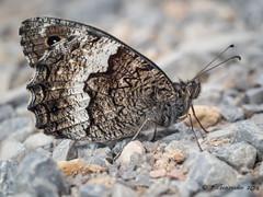 Hipparchia (Fernando Guirado) Tags: 2018 macro nymphalidae portáger butterfly papillon papallona mariposa olympus em1mk2 em1ii 60mmmacro closeup macrofotografia macrophoto macrophotography hipparchia
