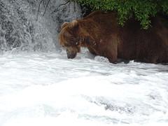 DSC07588 (jrucker94) Tags: alaska katmai katmainationalpark nationalpark bear bears grizzly grizzlybear brooksriver nature outdoors