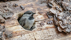 Mountain Chickadee (Bob Gunderson) Tags: poeciligambeli mountainchickadee birds california chickadees inyocraters monocounty northerncalifornia sierras
