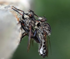 A Pair Of Robbers (Lisa Zins) Tags: canon rebel insect tn tennessee tennesseeinsects south macro tamronmacrolens robberfly assassinfly assassin fly diptera insecta robber arthropoda asilidae promachus hinei sixlegs predator bug beekiller hexapoda summer 2018 two pair mating flies outdoors nature lisazins tennesseerobberfly