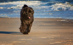 Like a Boss (Kathy Macpherson Baca) Tags: dogs newfoundland pets giant swimmer lifesaver gentlegiant canine earth planet world ocean bear black