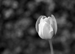Fra haven (holtelars) Tags: pentax 645 pentax645 645n 6x45 smcpentaxa 120mm f40 macro ilford ilfordfp4 fp4 fp4plus 125iso 120 film 120film mediumformat analog analogue blackandwhite classicblackwhite bw monochrome filmforever ishootfilm filmphotography xtol homeprocessing larsholte denmark danmark flowers garden tulip