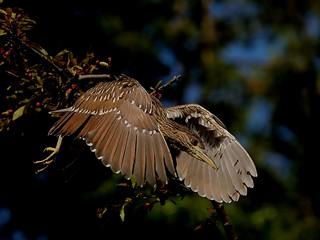 Black-crowned Night-Heron (Nycticorax nycticorax), juvenile