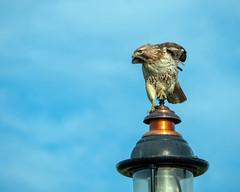 Hawk on Streetlight (lennycarl08) Tags: hawk redtailedhawk herculesca raptor birdofprey rx10m4 sony