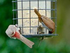 Ignoring Each Other (M.P.N.texan) Tags: bird birds wild feeder houston texas finch finches spicefinch munia housefinch