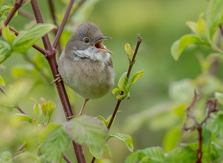 JWL1717  Whitethroat..