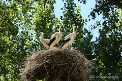 storks / gersprenz 01.07.2018 -p4d-0277 (event-photos4dreams (www.photos4dreams.com)) Tags: gersprenz münster hessen germany naturschutz nabu naturschutzgebiet photos4dreams p4d photos4dreamz nature river bach flus susannahvictoriavergau susannahvvergau eventphotos4dreams bird birds storch stork adebar nest nestbau canoneos5dmark3 störche