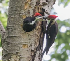 The pay-off (rdroniuk) Tags: birds woodpeckers pileatedwoodpeckers pileatedwoodpeckeryoung dryocopuspileatus oiseaux pic grandpic grandpicsjeunes