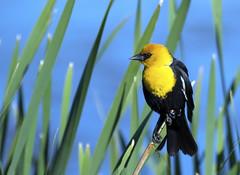 Yellow Headed Black Bird (AmyEHunt) Tags: yellowheadedblackbird blackbird bird yellow water lake blue perch reed wild wildlife animal colorado canon