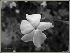 Jazmin perfumado (bruixazul poc a poc...) Tags: bn bw jazmin flor bokeh prismadecolores