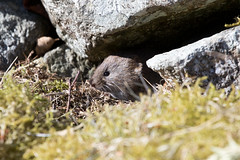 Field Vole atStordalen S24A7914 (grebberg) Tags: tveito stordalen hordaland norway april 2018 fieldvole microtusagrestis tundravole microtusoeconomus microtus vole mouse