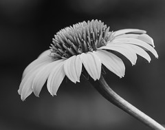 SImplicity (dshoning) Tags: flower bw hmbt