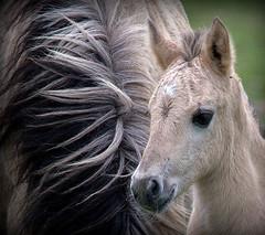 Konik foal