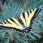 Oregon Swallowtail thumbnail