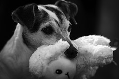 Buddy with his stuffy sheep (garypaakkonen) Tags: buddy canada canadarocks garypaakkonen jackparsons jackrussell paakkonen photography terrier canine d300s dog doggo dogs k9 nikon olddog ontario pets pupper puppy stuffy