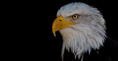 Bald  eagle (pe_ha45) Tags: eagle adler baldeagle weisskopfseeadler wildtierparkhellenthal raptor rapace greifvogel