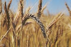 . our daily bread (Ruinenstaat) Tags: tumraneedi ruinenstaat wheat rey corn korn