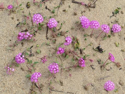 Abronia Umbellata Pink Sand Verbena A Photo On Flickriver