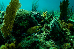 (Fifinator) Tags: ikelite sl2 canon natural light free dive dome moray eel golden hole deep bottom dof florida ft lauderdale ss copenhagen freedive