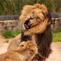 Disagreement (mlomax1) Tags: england ourtdoor pussy cat canon hunter animal cheshire whiskers kingofthejungle predator chesterzoo feline canoneos80d lion main mammal chester wildlife lioness teeth fight published25072018 flintshireleader250718 inprint