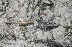Steenbok / Capra ibex (m.ritmeester) Tags: ngc naturelovers natuur tirol oostenrijk karwendel pertisau bruin groen grijs steenbok zwart