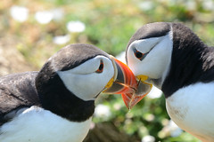 Puffin Skomer Wales 10y (JohnMannPhoto) Tags: puffin skomer wales