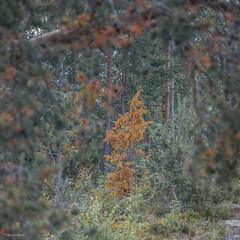 kuiva kataja (sami kuosmanen) Tags: suomi summer finland forest metsä maisema nature north europe luonto landscape tree juniper kataja