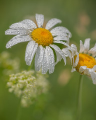 Moment of grace (Yves Gauvreau) Tags: flower macro daisy nature flowers world100f