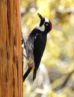 Acorn Woodpecker-41018- (2)