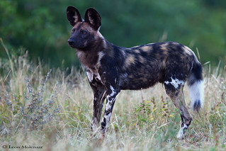 Alert African Wild Dog