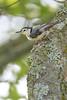 White-breasted NuthatchA53F1378 (~ Michaela Sagatova ~) Tags: dundasvalley birdphotography canonphotography michaelasagatova whitebreastednuthatch