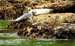Two Seals (jeandelalune) Tags: seals bandon oregon