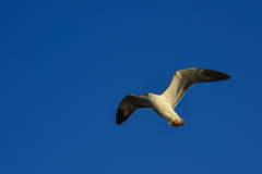 Seagull flying in the blue sky (phuong.sg@gmail.com) Tags: animal asia background beach beak beautiful bird blue clear day environment feather flutter fly free freedom gliding gull high hover independent inlay inle inspirational lake landscape life looking myanmar natural nature ocean outdoor peace sea seabird seagull shan sky soar soaring summer travel wild wildlife wind wing wingspan